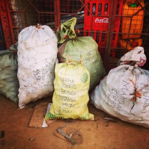 P_sacks of matango_2015